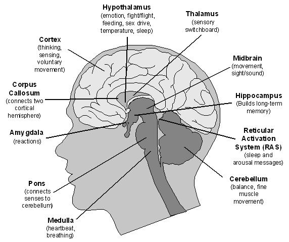 parts of brain associated with learning pictures to pin on